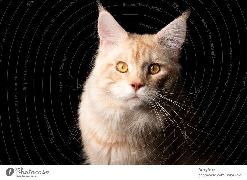 Studioporträt einer cremefarbenen Maine Coon Katze, isoliert auf schwarzem Hintergrund Haustiere Rassekatze maine coon katze Ohrbüschel lang Quaste schön