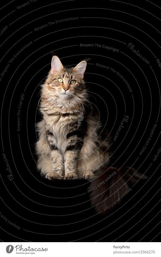 Studioporträt einer schönen Maine Coon-Katze mit flauschigem Schwanz, isoliert auf schwarzen Hintergrund Haustiere Rassekatze maine coon katze Ohrbüschel lang