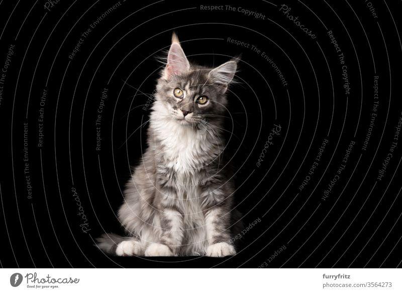 Studioporträt einer blue tabby Maine Coon-Katze, die in die Kamera blickt und den kopf neigt Haustiere Rassekatze maine coon katze Ohrbüschel lang Quaste schön
