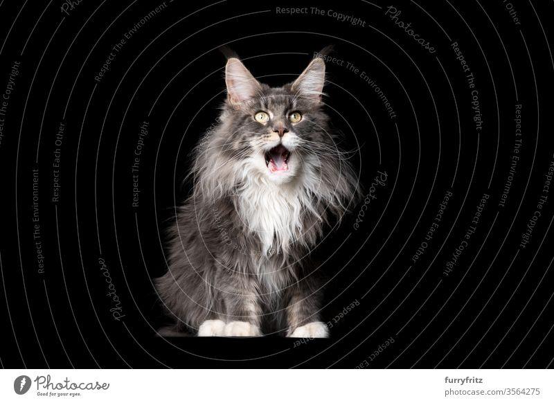 Studioporträt einer flauschigen blau weißen Maine Coon-Katze mit offenem Maul auf schwarzem hintergrund Haustiere Rassekatze maine coon katze Ohrbüschel lang