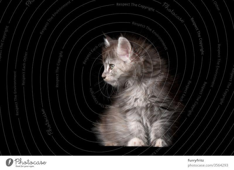 Studioporträt eines 8 Wochen alten Maine Coon Kätzchens sitzend und zur Seite blickend Katze Haustiere Rassekatze maine coon katze Ohrbüschel lang Quaste schön