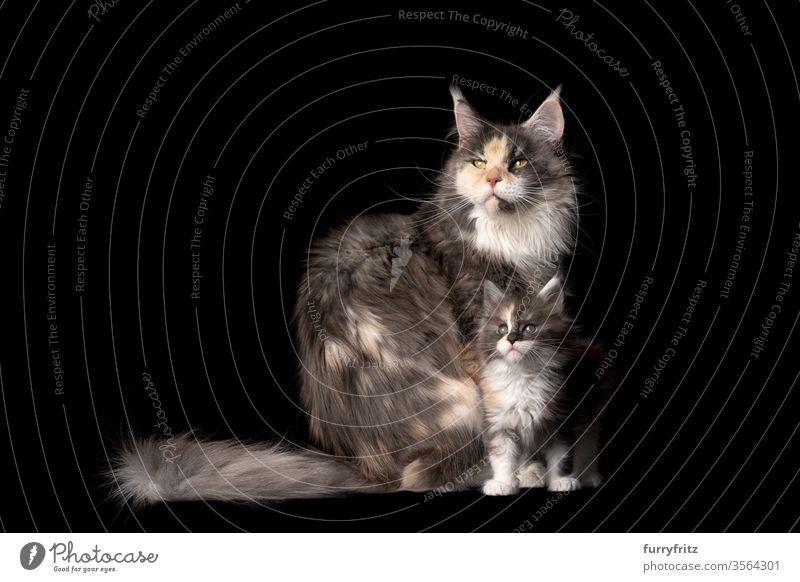 Studioporträt eines 8 Wochen alten Maine Coon Kätzchens mit Katzenmutter Haustiere Rassekatze maine coon katze Ohrbüschel lang Quaste schön bezaubernd niedlich