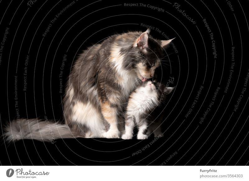 Studioporträt eines 8 Wochen alten Maine Coon Kätzchens mit Katzenmutter, die das Gesicht leckt Haustiere Rassekatze maine coon katze Ohrbüschel lang Quaste