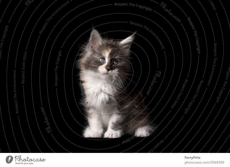 Studioporträt eines 8 Wochen alten Maine Coon Kitten Katze Haustiere Rassekatze maine coon katze Ohrbüschel lang Quaste schön bezaubernd niedlich fluffig Fell