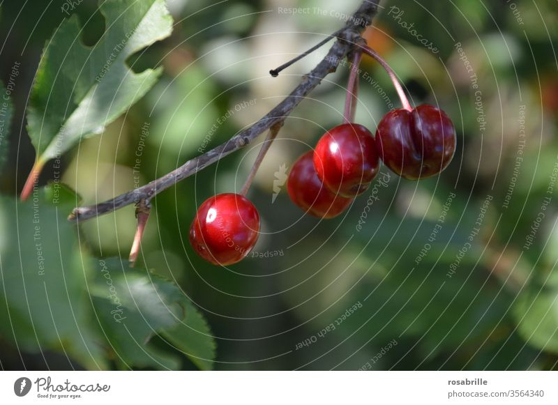 frisches Obst z.B. Kirschen | lebensnotwendig ernten lecker saftig süß rot Sommer sommerlich Früchte Frucht Lebensmittel Lebensfreude Süßkirschen Nahrung