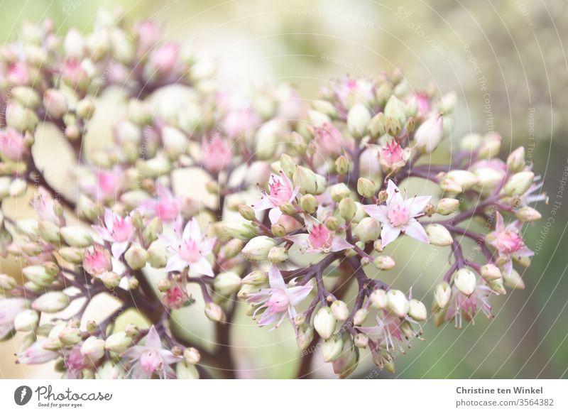 Blüten der Fetthenne  / Sedum / Orpine / Stonecrop Fette Henne Pflanze Natur Staude Gartenpflanze Insektennährpflanze Dickblattgewächse Blütenknospen blühend