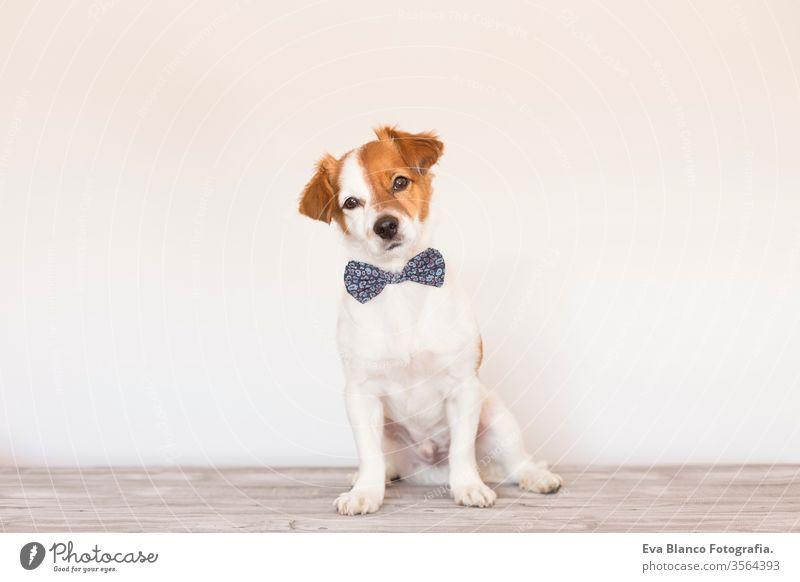 süßer junger kleiner weißer Hund, der eine moderne Fliege trägt. Sitzt auf dem Holzboden und schaut in die Kamera. Weißer Hintergrund. Haustiere im Haus