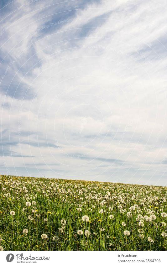 Pusteblumenfeld Löwenzahn wiese Feld Weide Frühling Wolken Himmel Natur Pflanze Blume Farbfoto Außenaufnahme Sommer grün Gras Samen Umwelt Menschenleer
