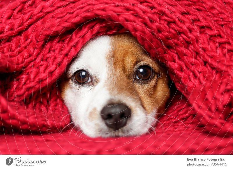 Porträt eines süßen jungen kleinen Hundes, der mit einem roten Schal in die Kamera blickt. Weißer Hintergrund Welpe Haustier niedlich bezaubernd Sitzen lustig