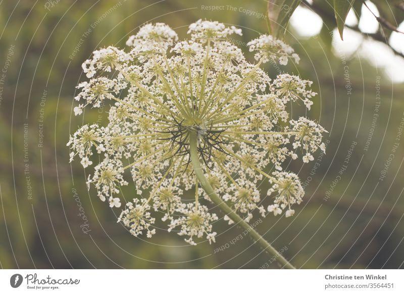 Blütendolde einer Wilden Möhre aus der Perspektive der Möhre Wilde Möhre Doldenblüte Doldenblütler Pflanze Wildpflanze Natur Umwelt Insektenschutz Sommer Blume