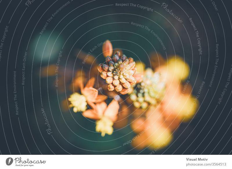 Abstrakte Nahaufnahme der Blüten und Knospen von Bulbine frutescens, auch bekannt als Burn Jelly Plant Brandgelee Pflanze abstrakt Blume Garten Frühling