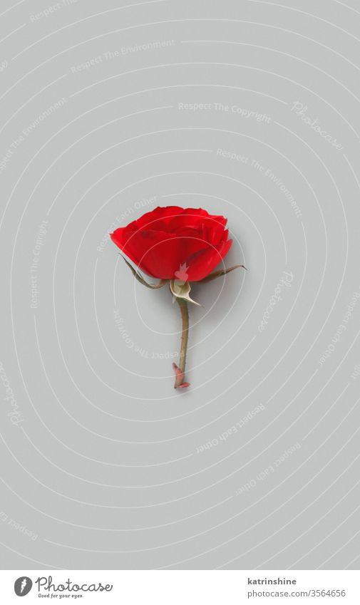 Rote Rosenblume auf grauem Hintergrund Blume romantisch rot Roséwein hell sehr wenige Draufsicht Textfreiraum Konzept kreativ Tag Dekor Dekoration & Verzierung