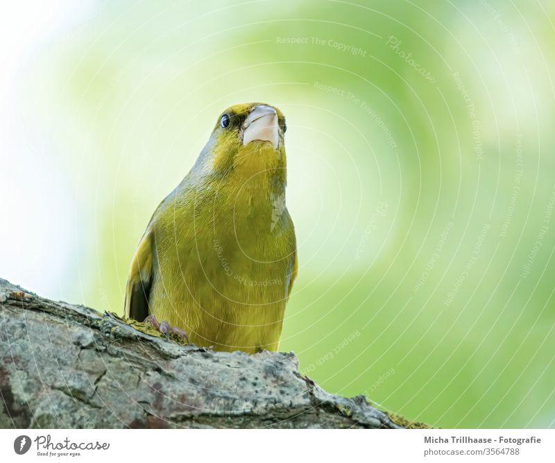 Aufmerksamer Grünfink Chloris chloris Kopf Schnabel Auge Flügel Vogel Singvogel Wildvogel Federn Gefieder Beine Krallen Tier Wildtier Natur Sonnenschein