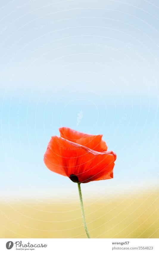 Pfingst-Mohn-Tag Mohnblüte solitär bunt geringe Schärfentiefe Pflanze Natur Farbfoto Außenaufnahme Menschenleer Schwache Tiefenschärfe Nahaufnahme Blühend