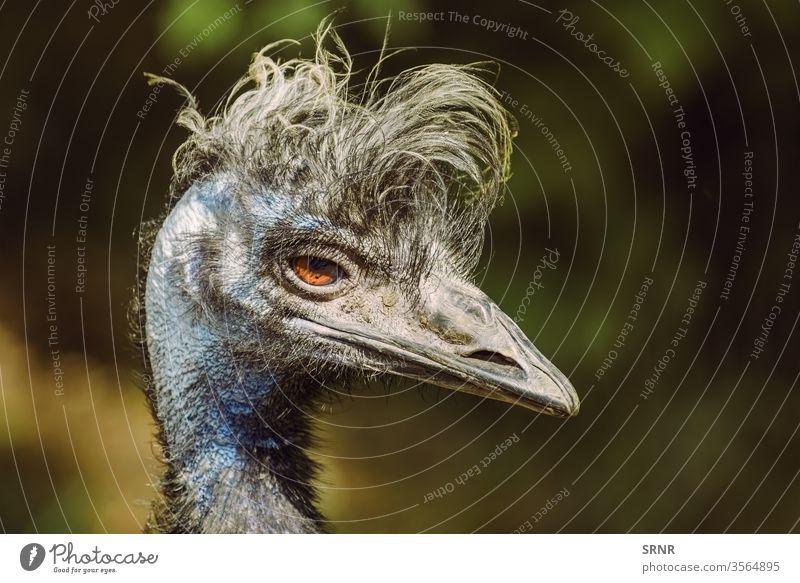 Porträt von Emu Tier Vogel Vogelwelt Rechnung Fauna gefiedert federleicht flugunfähig einheimischer Vogel Hals Strauß gehockt Gefieder Laufvogel