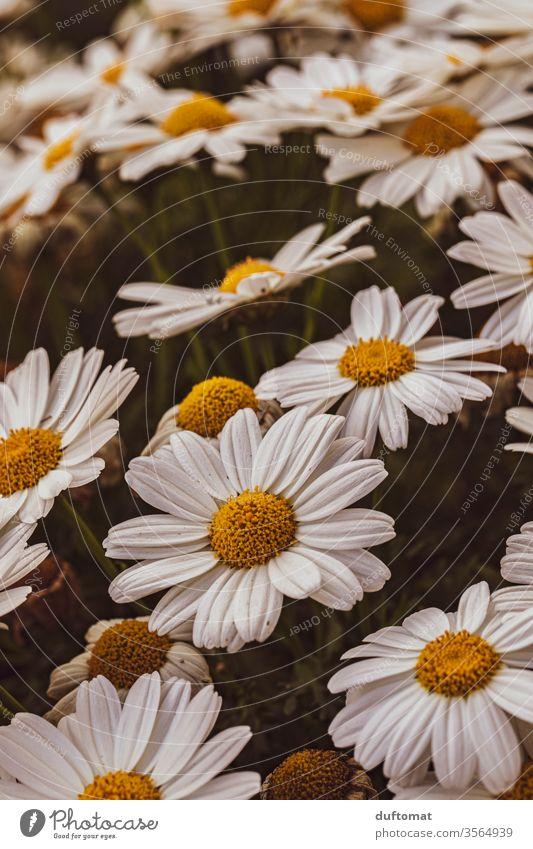 Ein Meer von Margeriten margeriten Natur Blume Balkon Pflanze Wachstum Sommer Schönheit Makroaufnahme Blüte Blühend Duft Hintergrund Schwache Tiefenschärfe