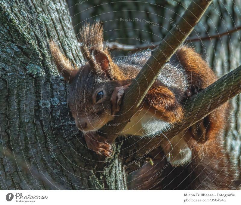 Schlummerndes Eichhörnchen im Baum Sciurus vulgaris Tiergesicht Kopf Auge Nase Ohr Maul Krallen Fell Nagetiere Wildtier Natur Sonnenlicht Schönes Wetter