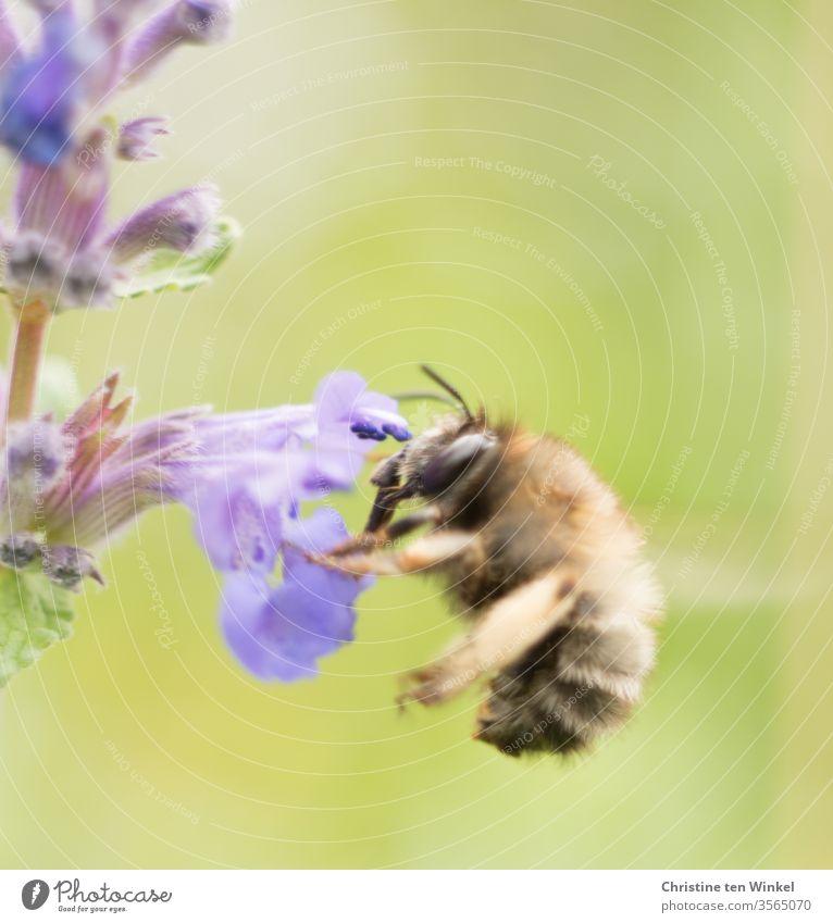 Bienchen an einer violetten Blüte der Katzenminze Biene Insekt Natur Makroaufnahme Nahaufnahme Blume Pollen Tier Nepeta Pflanze Staude Garten Farbfoto Wildtier
