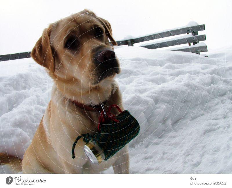 Bierhund Hund Labrador Winter Dose Zusteller Halsband Schnee Hundehalsband