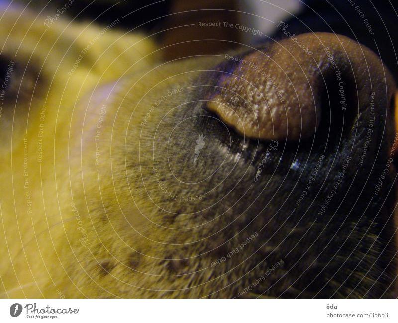 Flotzmaul Hund feucht dunkel Labrador Maul Nase Haare & Frisuren