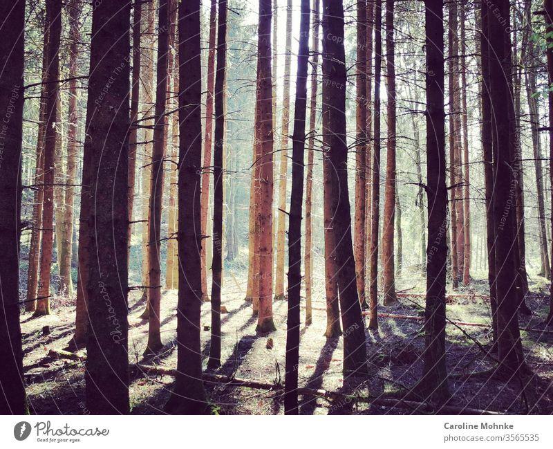 Bäume im Wald von der Nachmittagssonne beleuchtet wald Baum Natur grün Außenaufnahme Farbfoto Pflanze Tag Menschenleer Umwelt Landschaft natürlich braun Licht