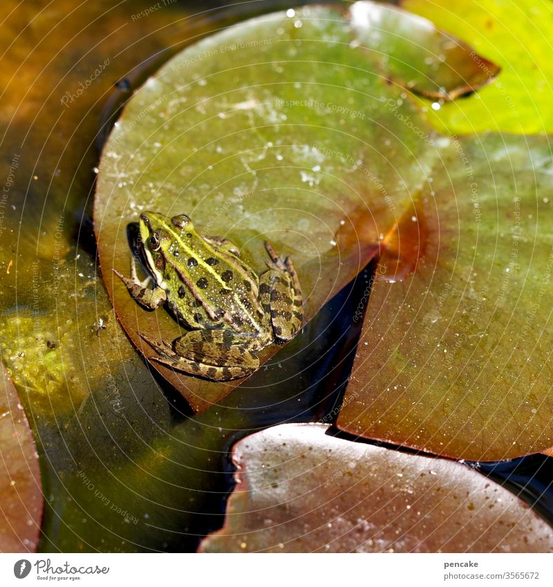 storchperspektive Frosch Seerose Seerosenblatt Teich Wasser sitzen Sonnenschein Garten Natur Lebewesen Detailaufnahme Grün Storchperspektive