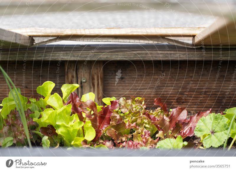 daheim Salatpflanzen Garten Hochbeet Schutzhaube holz Grün Selbstversorger Pflanzen wachsen Wachstum Gartenarbeit Freizeit & Hobby grün Natur frisch natürlich