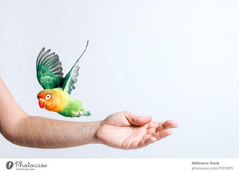Kleiner bunter Papagei auf weiblicher Hand Vogel Liebesvogel farbenfroh wenig niedlich exotisch tropisch Fauna Schnabel wild hell lebhaft Tier pulsierend