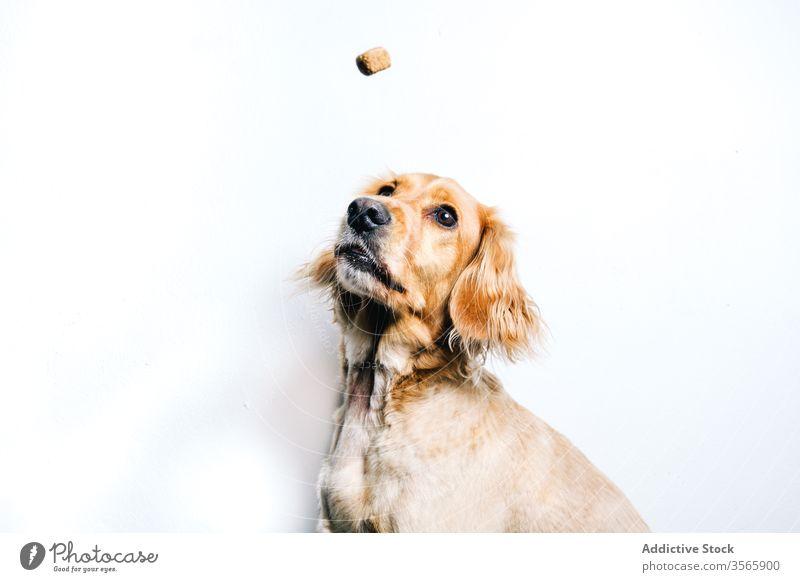 Hund beim Fangen von Futter auf weißem Hintergrund Haustier Lebensmittel Snack essen fangen züchten Tier Eckzahn heimisch Gesundheit aktiv Freund niedlich