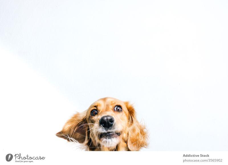 Glücklicher Rassehund auf weißem Hintergrund Hund Haustier züchten lustig niedlich Tier Eckzahn heimisch Kragen aktiv Freund Golden Retriever spielerisch