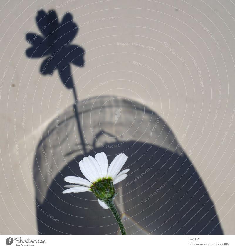 Rampensau Blume klein Schatten Margarite Blüte Blütenblätter Vase Schattenspiel Detailaufnahme Textfreiraum oben Textfreiraum rechts Farbfoto Menschenleer