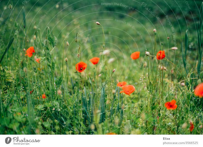 Rote Mohnblumen auf einer grünen Wiese rot Klatschmohn Frühling blühen Blume Blumenwiese Gras Wiesenblume Feld Garten frühlingswiese