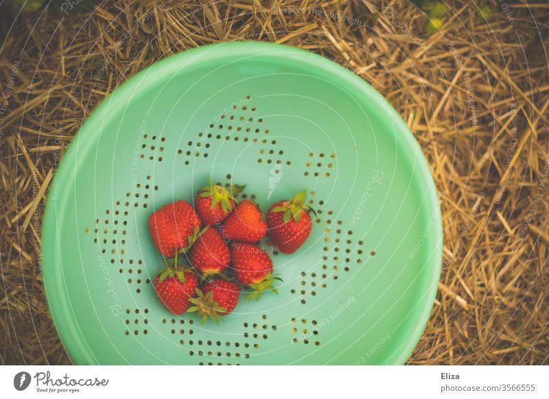 Erdbeeren in einem türkisen Sieb sammeln Feld lecker ernten pflücken Erdbeerfeld Frucht rot Ernte frisch Natur reif Lebensmittel Vitamin fruchtig