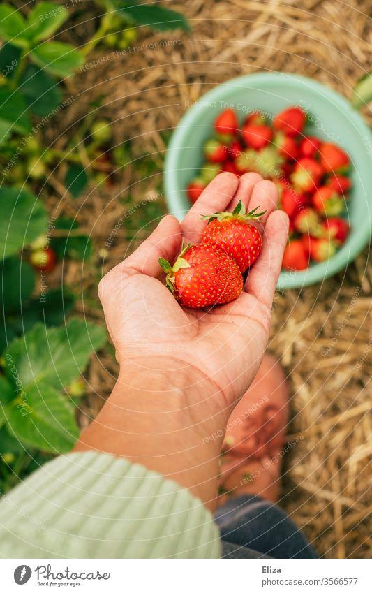 Eine Person hält selbst gepflückten Erdbeeren auf dem Erdbeerfeld in der Hand reif selberpflücken selber pflücken Feld lokal Regional lecker viele fruchtig Obst