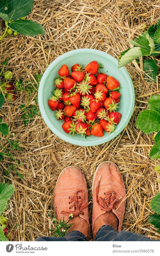 Eine Person steht im Erdbeerfeld vor einer Schüssel mit frischen selbst gepflückten Erdbeeren Erdbeerzeit sammeln Füße reif Feld gesammelt Stroh lokal Pflücken