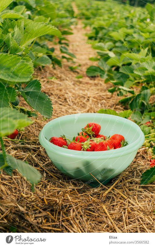 Eine Schüssel voller selbst gepflückter Erdbeeren zwischen Erdbeersträuchern im Erdbeerfeld Stroh schüssel gesammelt ernten pflücken lecker rot Feld draußen