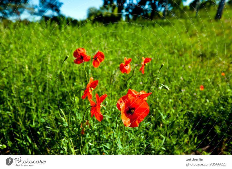 Mohn mohn ausflug wiesenpflanze mohnblume blühen blütenblatt draußen flora horizont mohnblüte natur sommer stempel rot weide park