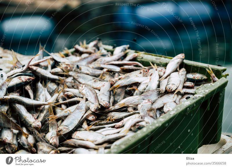 Viele frische gefangene silberne Fische auf einem Haufen in einer Kiste Fischfang viele Fischereiwirtschaft Schuppen Fischmarkt Totes Tier Nahaufnahme Ernährung