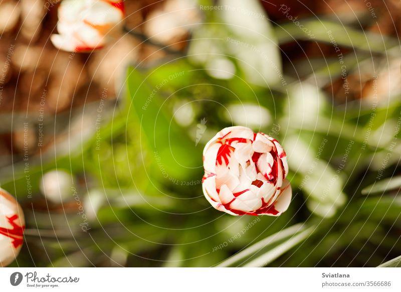 Eine weiß-rote Tulpe blüht vor einem Hintergrund von grünem Laub. Tulpe, Nahaufnahme, Draufsicht Top Frühling Blume Ansicht schließen Tag Schönheit Pflanze