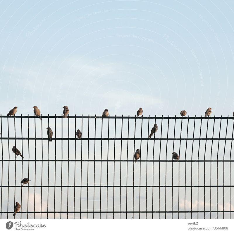 Hackordnung ZaunGrenze Gitter Metall Metallzaun Sitzplatz Ordnung Vögel Spatzen Organisation sitzen Pause schnattern zwitschern schilpen verteilt Himmel