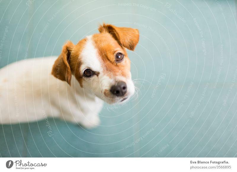 Porträt eines niedlichen kleinen Hundes, der in die Kamera schaut. Grüner Bodenhintergrund. Ansicht von oben. Haustiere im Haus. Nase Lächeln Warten vereinzelt
