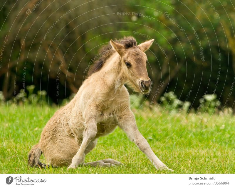 A pretty and cute dun horse foal of an Icelandic horse is trying to get up from the green meadow, very clumsy animal pony dun colored grass pelt sun spring