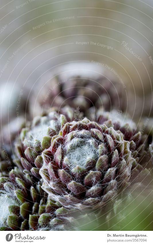 Hauswurzrosetten (Sempervivum) aus den Pyrenäen, Nahaufnahme Dachwurz Rosetten Sukkulente Dickblattgewächse Crassulaceae Kindel Tochterrosetten Steingarten