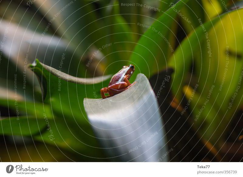 Blatt und Amphib Natur Pflanze Tier Umwelt Klima Abenteuer Frosch Darts Pfeilgiftfrosch