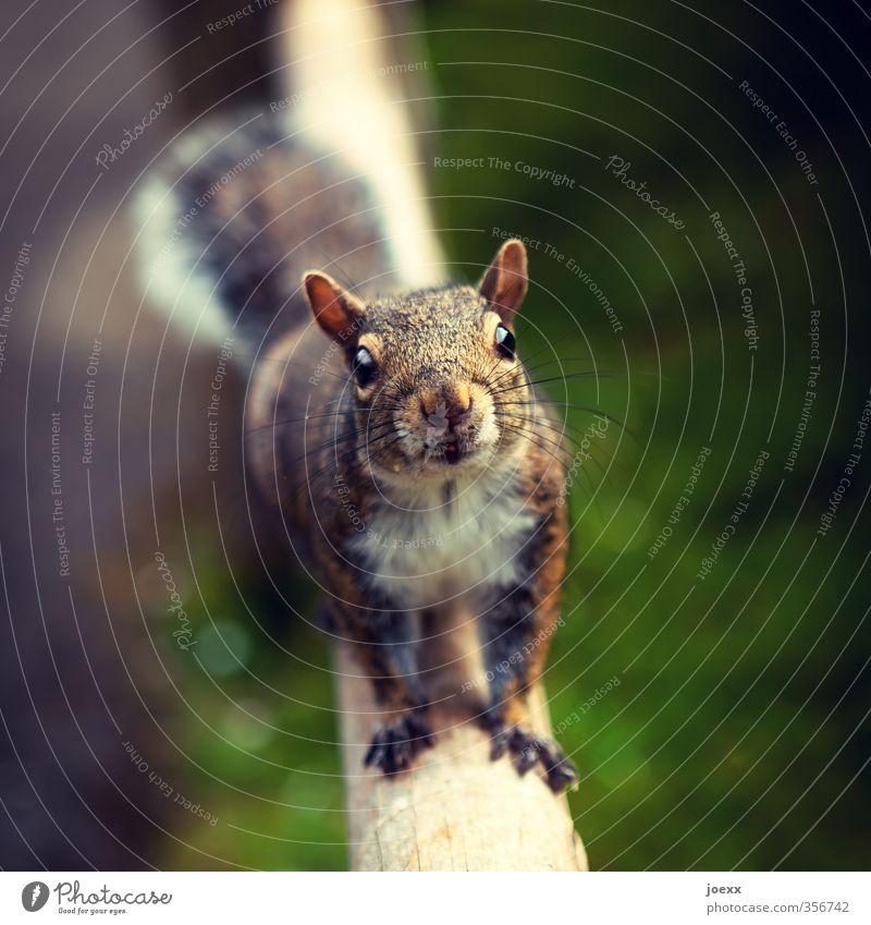 Mehr? Tier Wildtier Tiergesicht Fell Eichhörnchen 1 füttern Blick warten Freundlichkeit kuschlig Neugier niedlich braun grün Farbfoto Gedeckte Farben