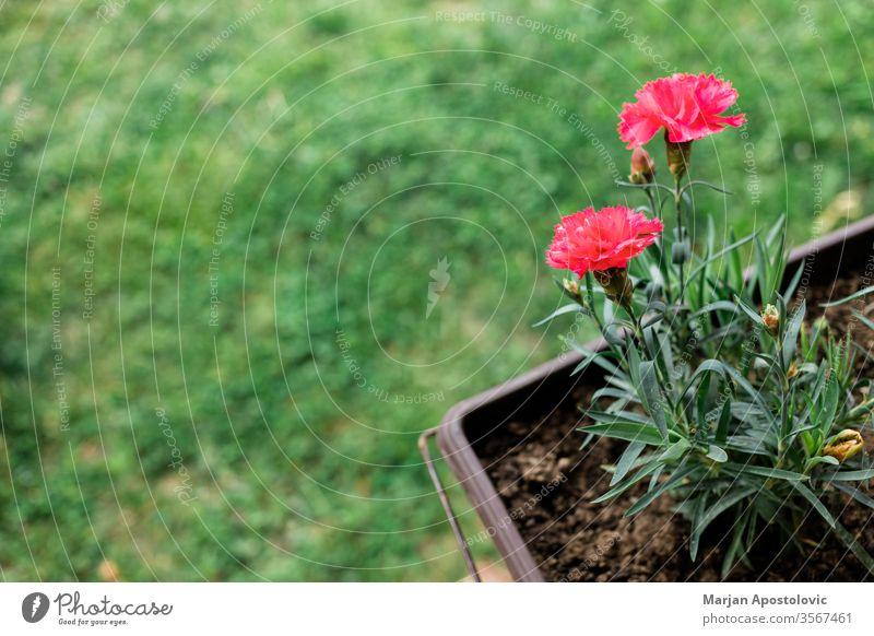 Schöne rote Nelke im Blumentopf im Hof Hintergrund Hinterhof schön Schönheit Blütezeit Überstrahlung hell Nelken Nahaufnahme Farbe farbenfroh Kopie Tag