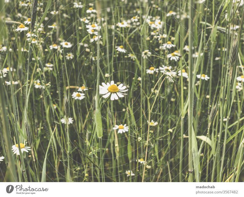 Gänseblümchen oder Kamille Wiese Blimen Natur Gras Sommer Pflanze Blume grün Umwelt Blüte Frühling Blühend Menschenleer Blumenwiese Farbfoto Wachstum schön
