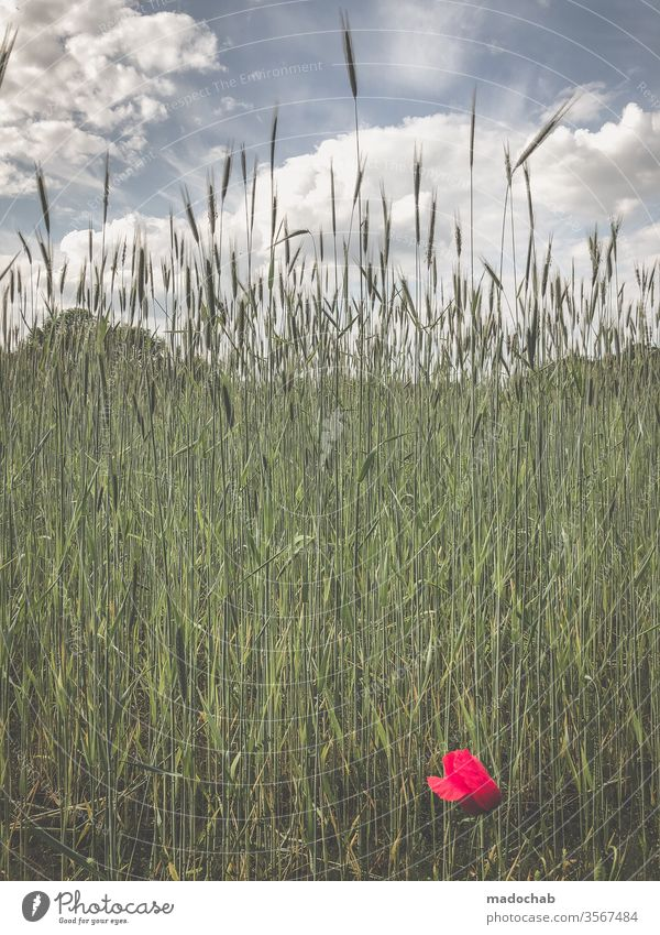 Mehr Natur Berge Mohn Blume Gras Wiese Feld Sommer Pflanze Blüte Schönes Wetter Frühling Wildpflanze Blühend Wachstum Menschenleer Außenaufnahme schön Garten