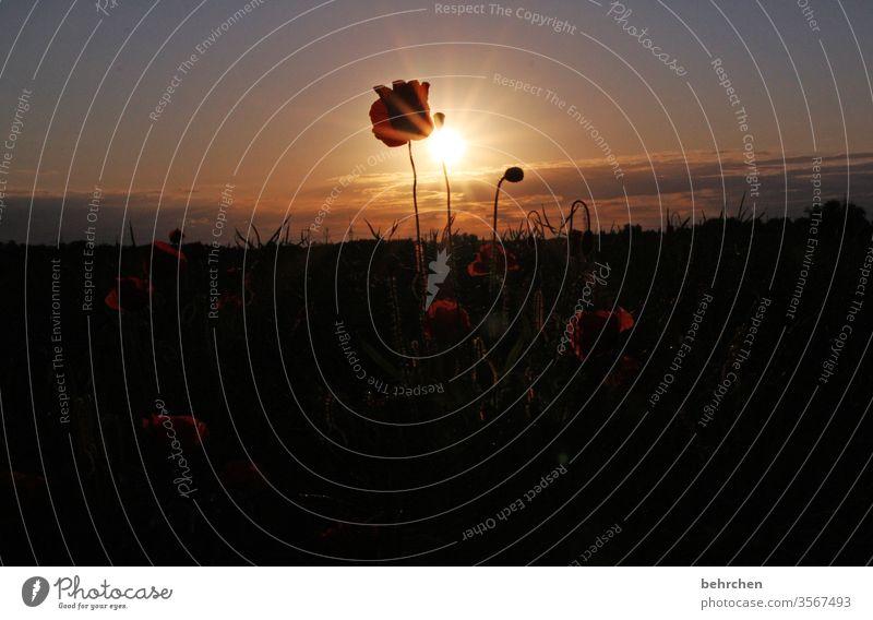 mo(h)ntagssonnenblume Mohnblume Abend Landschaft Mohnblüte mohnblumen Blume Blüte blühen duftend Duft Sommer Frühling Gegenlicht Sonnenuntergang Sonnenlicht