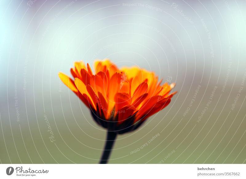 pfingstblümchen Duft Blühend Sonnenlicht Pflanze Blatt Natur Landschaft Sommer Blume Blüte Blütenblatt Garten Wiese Wärme gelb schön sommerlich leuchten